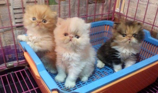 Hal Penting Jika Merawat Kucing Baru Diadopsi