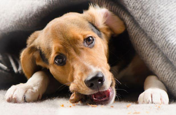 Yang Harus Dilakukan Jika Anjing Anda Tak Mau Makan