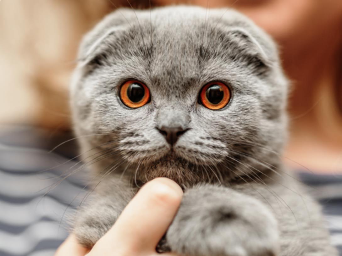 Ciri Spesifik Dan Keunikan Kucing Scottish Fold
