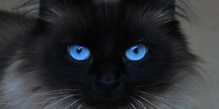 Jika Kucing Bermata Biru dan Bermata Janggal