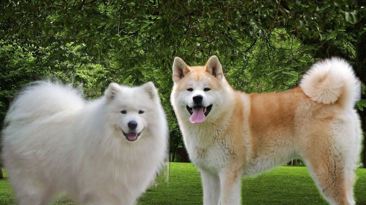 Menangani Anjing Betina Pada Masa Birahi