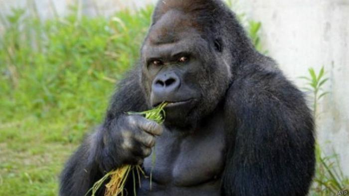 Ternyata Gorila Bersenandung Ketika Makan