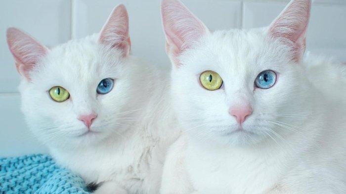 Menurut Ahli, Kucing Bulu Putih Berpotensi Mengalami Tuli Bawaan