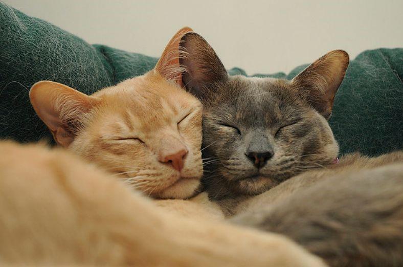 Cara Ampuh Mengawinkan Kucing