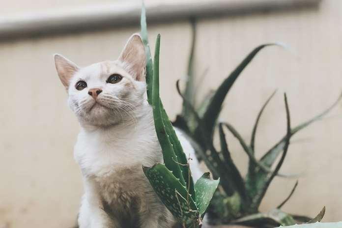 Inilah Ciri Kucing Jantan Birahi