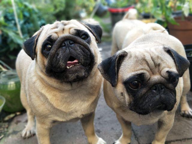 Kenalan dengan Anjing Pug