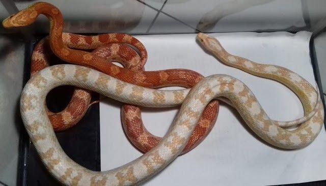 Ini Tips Mudah Untuk Memelihara Corn Snake