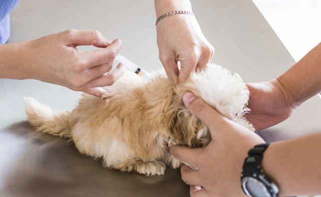 Cara Mengobati Diare Anjing di Rumah