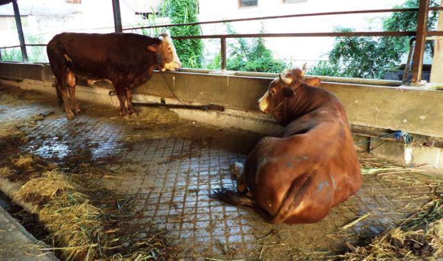 Pencegahan dan Penanganan Milk Fever pada Sapi Perah