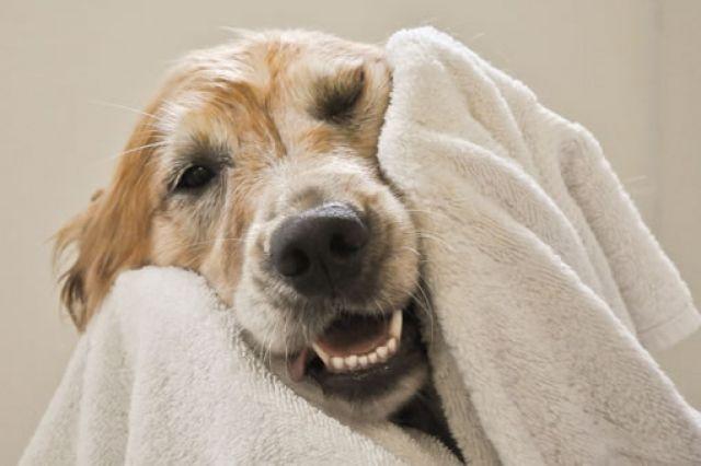 Grooming Pada Anjing Tua