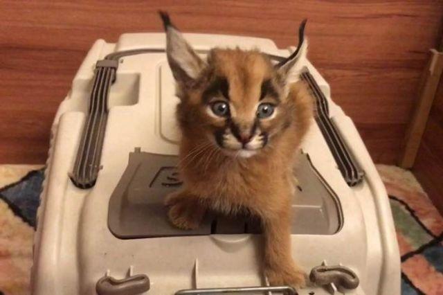 Spesies Caracal, Kucing Terindah di Dunia