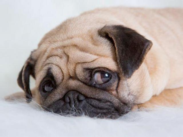 Gejala Klinis Saat Canine Parvovirus Menyerang Hewan Kesayangan