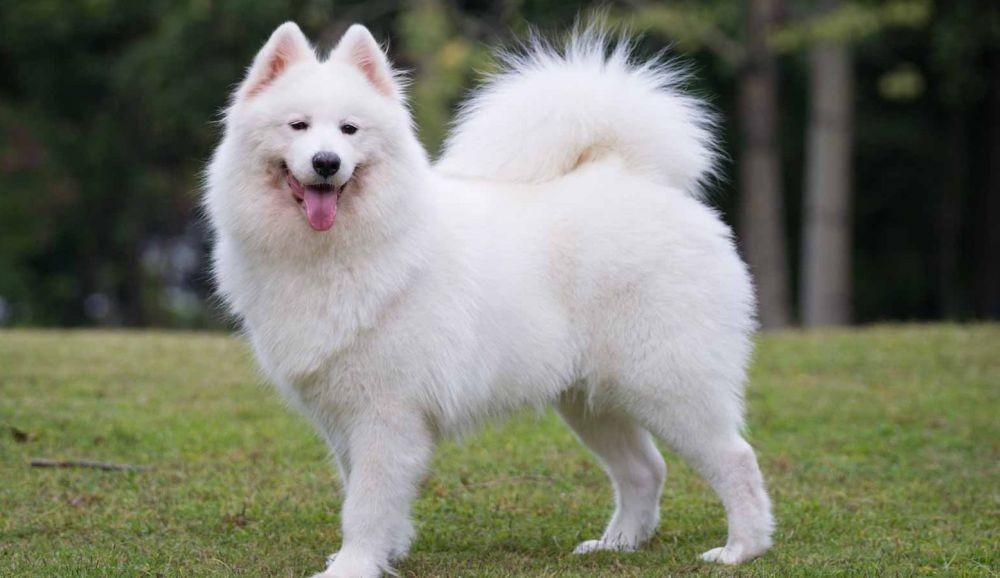 Ras Anjing Yang Memiliki Harga Mahal