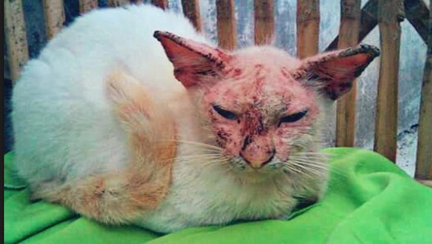 Kenali Perbedaan Scabies Dan Jamur Pada Kucing