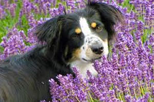 Terapi Aroma Juga Perlu Untuk Anjing