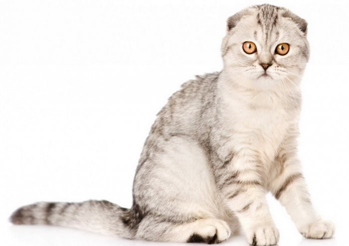 Penampakan Kucing Telinga Lipat Asal Skotlandia