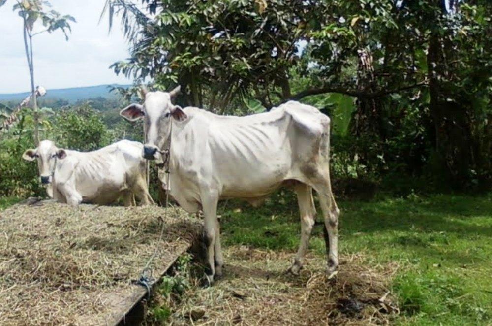Sapi Kena TBC, Bisa Kehilangan Efisiensi Produksi