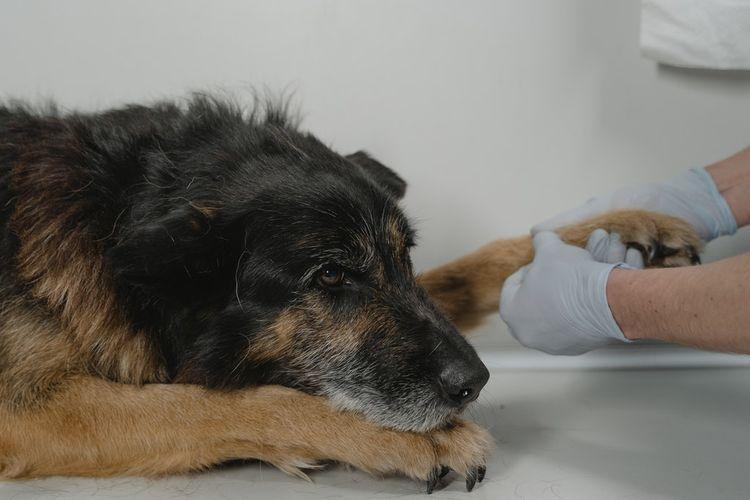 Pertolongan Pertama Saat Anjing dalam Kondisi Darurat
