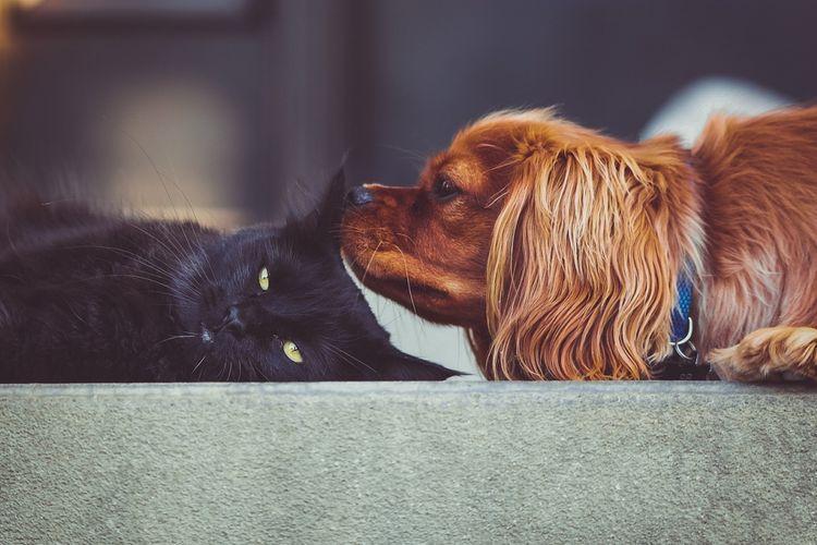 Mengenalkan Kucing ke Anjing Agar Akur