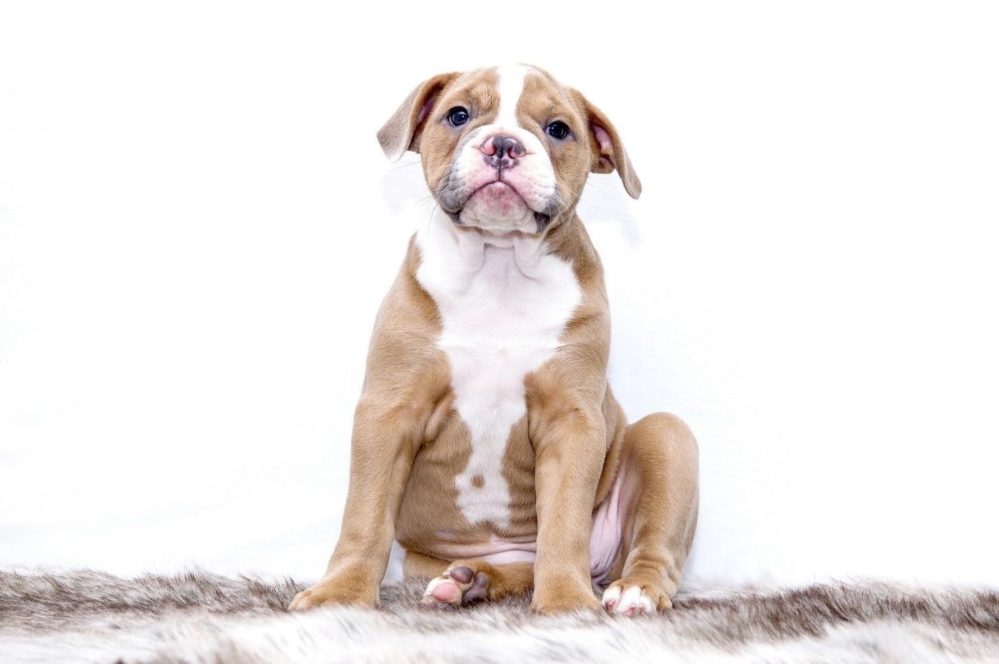 Jika Perut Anjing Kesayangan Anda Kembung