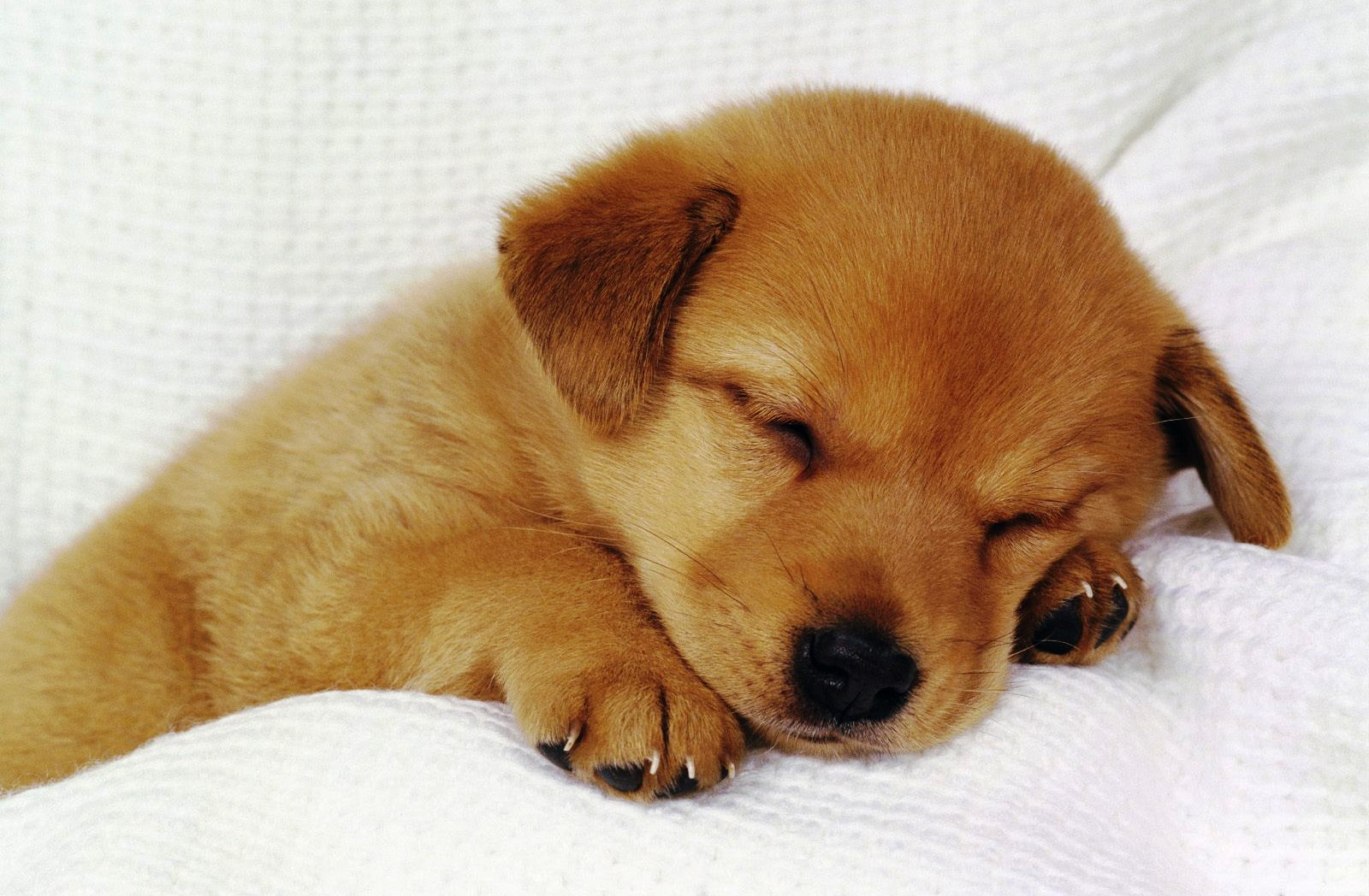 Benarkah Anjing Tak Boleh Diberi Cokelat