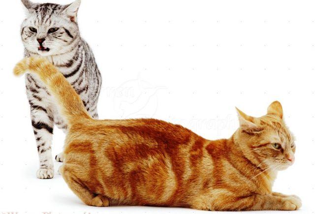 Menenangkan Kucing yang Sedang Birahi Bagian 1