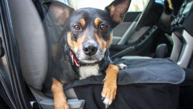 Agar Anjing Merasa Nyaman di Dalam Mobil