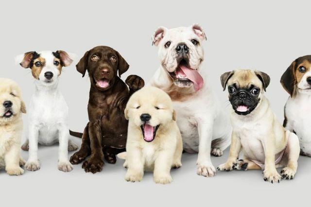 Agar Para Anjing Tetap Akur saat Berada di Rumah