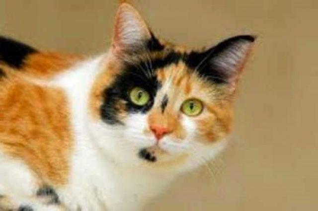 Fakta dan Mitos Kucing Belang Tiga