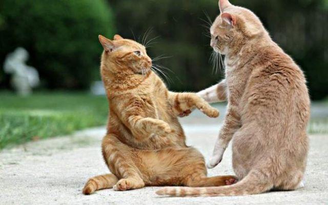 Jika Kucing Anda Suka Berantem, Simak Info Ini