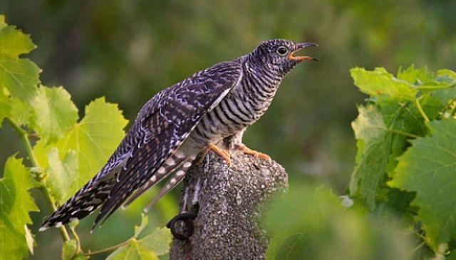 Jenis Burung  ini Bisa Mimikri Seperti Bunglon