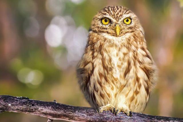 Jika Ingin Burung Hantu Dijadikan Hewan Peliharaan