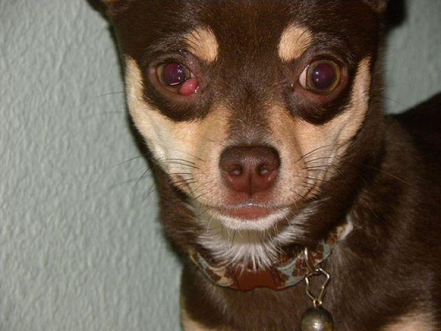 Waspadai Cherry Eye pada Anjing Kesayangan Anda