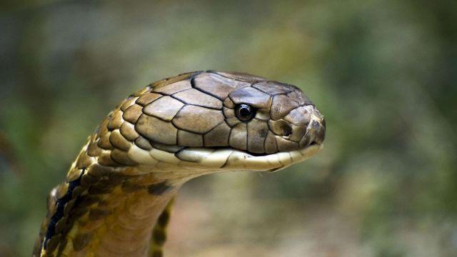 Ingat, King Cobra Bukan Binatang Peliharaan