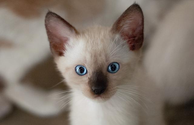 Tentang Kucing Siam