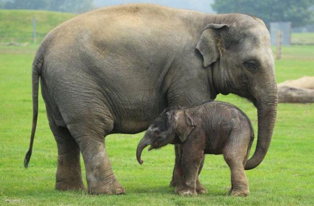 Penyebab Penyakit Herpes Pada Gajah