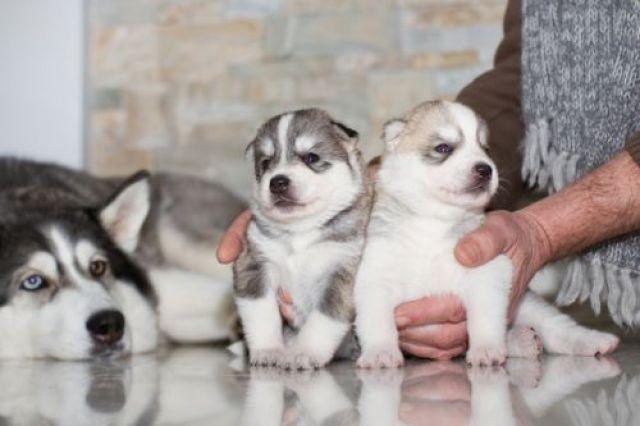 Tips Rawat Siberian Husky Puppies Bagi Pemula