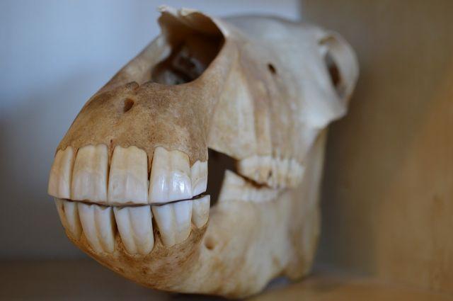 Perawatan gigi kuda telah dimulai 3.000 tahun lalu