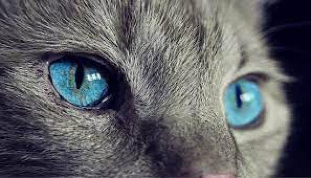 Kemungkinan Mata Kucing Berubah Warna Seiring Bertambahnya Usia