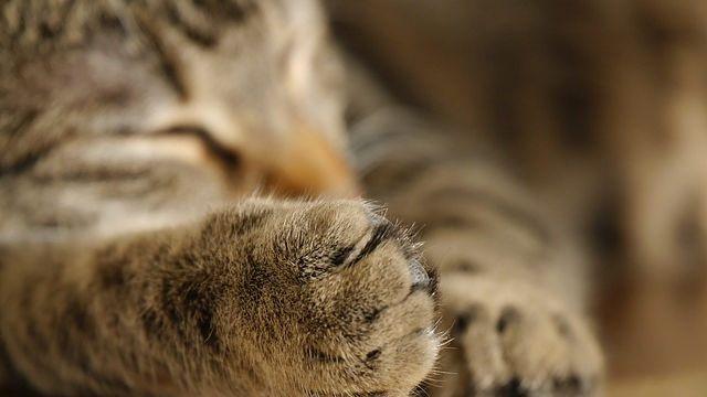 Jika kaki Kucing Anda Bengkak