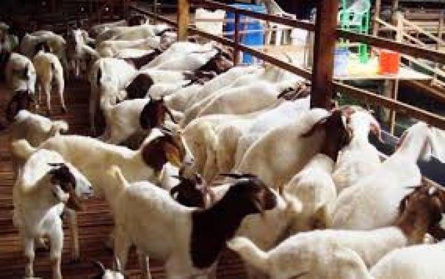 Gertak Birahi dan Sexing Sperma Untuk Perbaiki Keturunan Domba