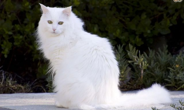 Lima Penyakit yang Sering Terjadi Pada Kucing Anggora