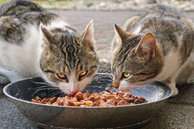 Penyebab Kucing Selalu Lapar