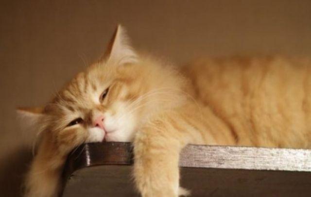Langkah Pengobatan Kucing yang Terkena Pyometra