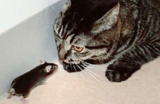 Waspadai Jika Kucing Anda Makan Tikus