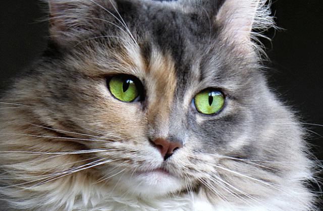 10 Gejala Pyometra pada Kucing Betina