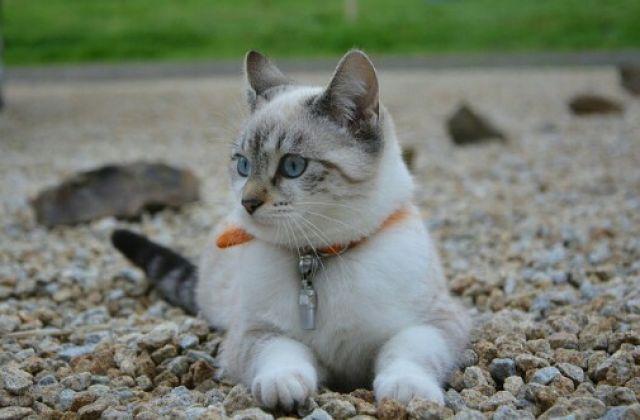 Tanda dan Penyebab Pyometra Pada Kucing Betina