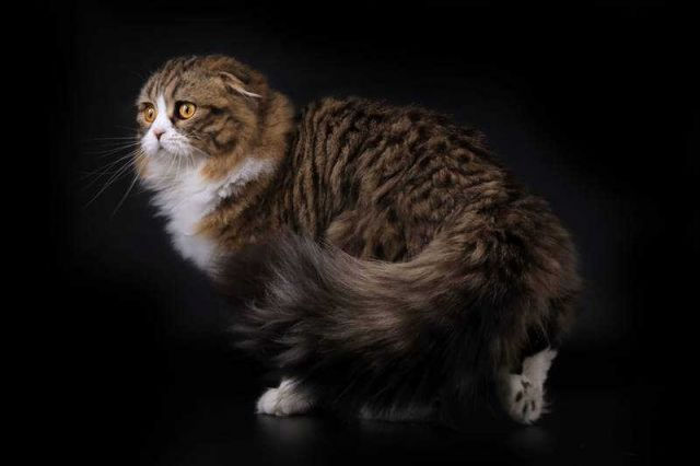 Yuk, Kenalan dengan Kucing Ras Scottish Fold