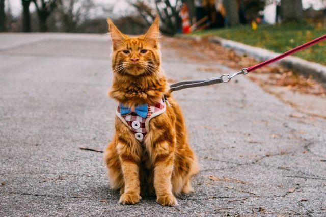 Kiat Mendorong Kucing Berolahraga