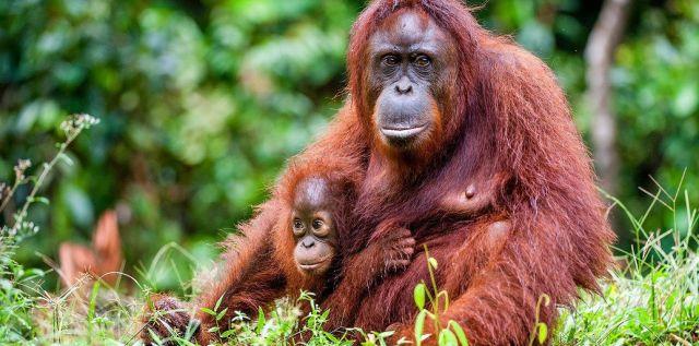 Parasit yang Mengancam Populasi Orangutan